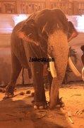 Elephants for vrischikotsavam tripunithura temple 2 473