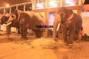 Elephants for vrischikotsavam tripunithura temple 3 493