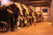 Elephants for vrischikotsavam tripunithura temple 4 881