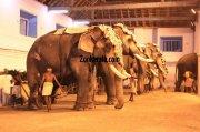 Elephants for vrischikotsavam tripunithura temple 6 73