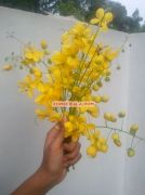 Kanikonna flower for vishu 2