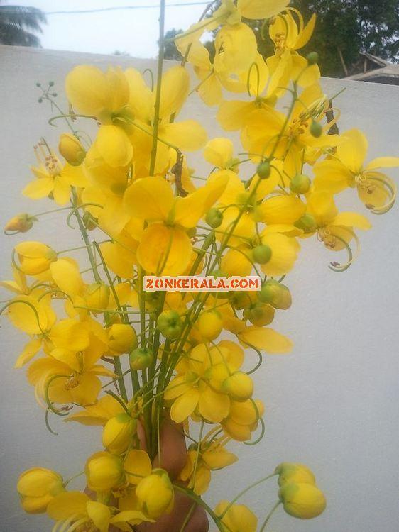 Kanikonna flower for vishu 3