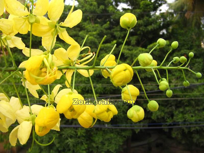 Konna flower