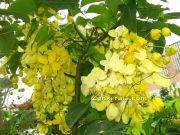Vishu konna flower