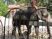 Elephant 1885