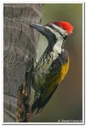 Black rumped flameback woodpecker