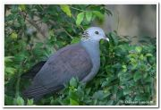 Nilgiri woodpigeon
