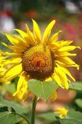 Beautiful sunflower photo