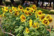 Sun flower garden photo