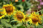 Sun flower still