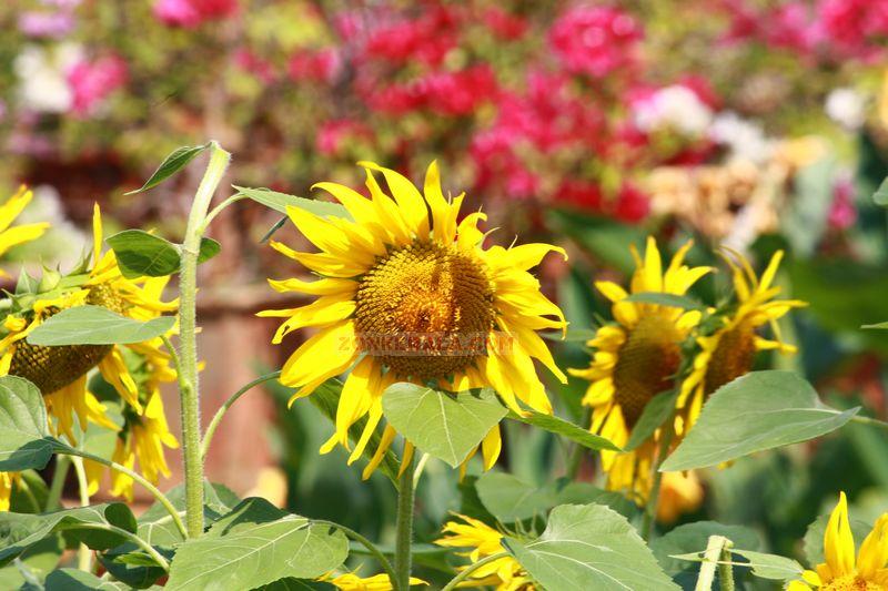 Sunflower pic