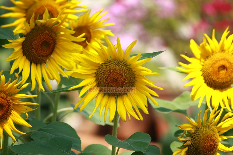 Sunflower picture gallery