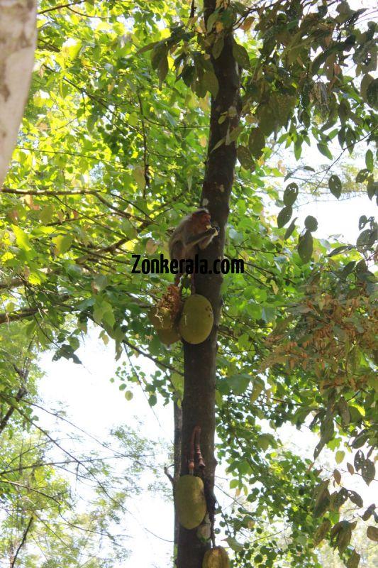 Monkey eating jack fruit at edakkal 30