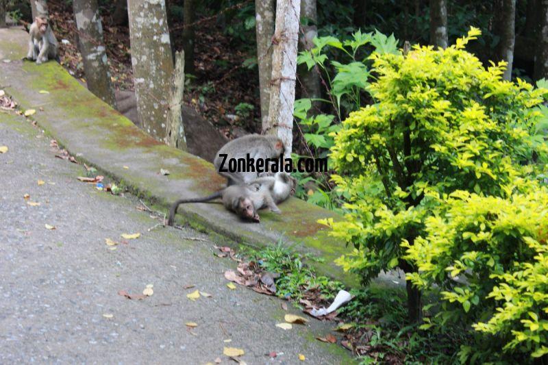 Monkeys playing enroute to edakkal caves 81