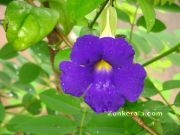 Kolambi flower