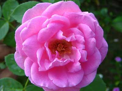 Rose 1775