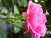 Rose 1776