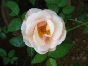 Rose 1777