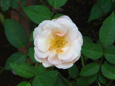 Rose 1782