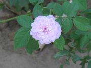 Rose 1762