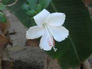 Shoe flower 1763