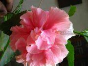 Shoe flower 1787