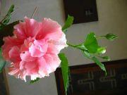 Shoe flower 1788
