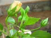 Shoe flower 1789