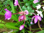 Orchid 1773