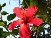 Shoe flower 1771