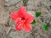 Shoe flower 1786