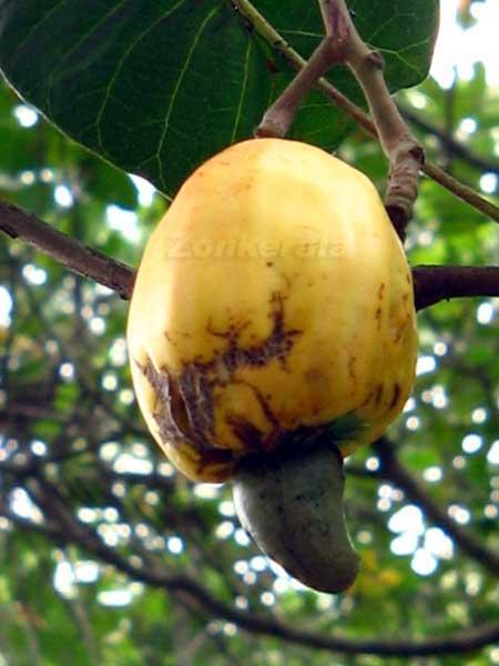 http://www.zonkerala.com/gallery/home/fruits/cashew-nut.jpg