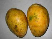 Mango 3224