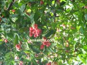 Water roseapple aka chambakka