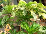 Plant 1776