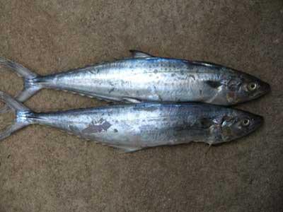 Seer fish 3246