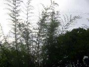 Bamboo trees 6683