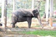 Konni aana koodu elephant photo 495