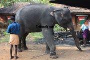 Konni aana koodu elephant with mahout 403