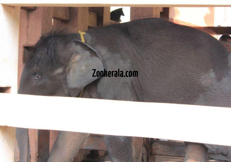 Konni aanakkoodu elephant cub 5