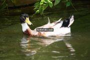 Ducks at kumarakom 2