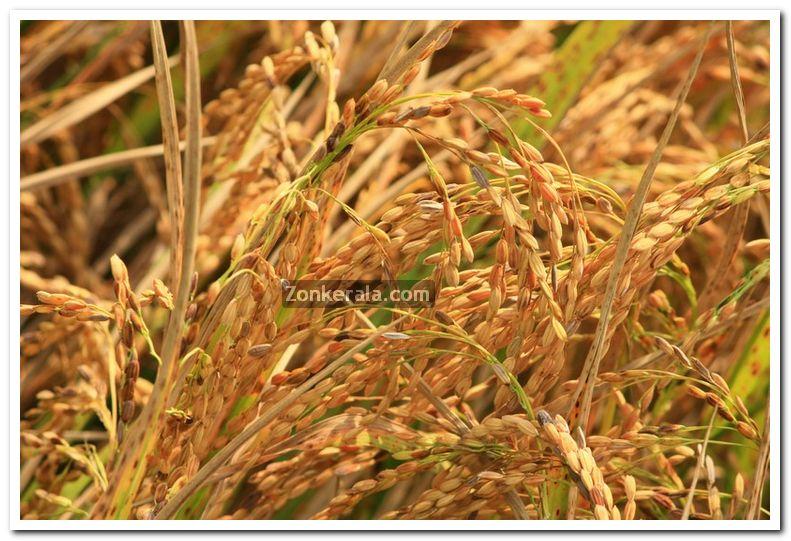 Kerala Photos : Kerala : Nature : Paddy Crop Photo 5