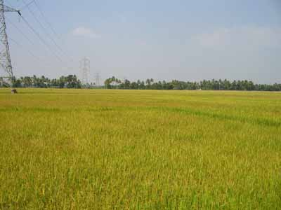Paddy field 2231