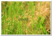 Paddy field photo 3