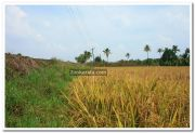 Paddy field photo 4