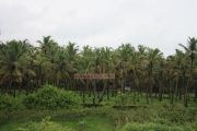 Cocnut trees in kerala photo