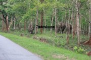 Elephant herds in wayanad wildlife sanctury 1 809