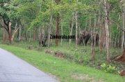 Elephant herds in wayanad wildlife sanctury 1 809