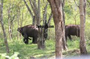 Elephant herds in wayanad wildlife sanctury 10 947