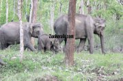Elephant herds in wayanad wildlife sanctury 2 147